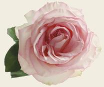 Rose Heilung